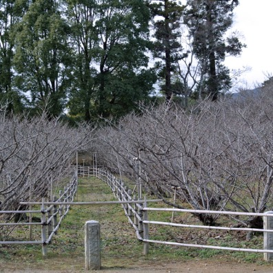 Grove of 200 cherry trees. These trees bloom later than the other trees in Kyoto. I will need to visit this temple again in late spring.